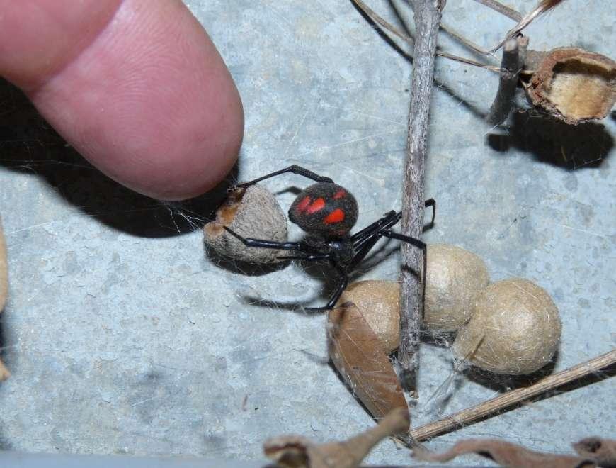 latrodectus mactans tredecimguttatus
